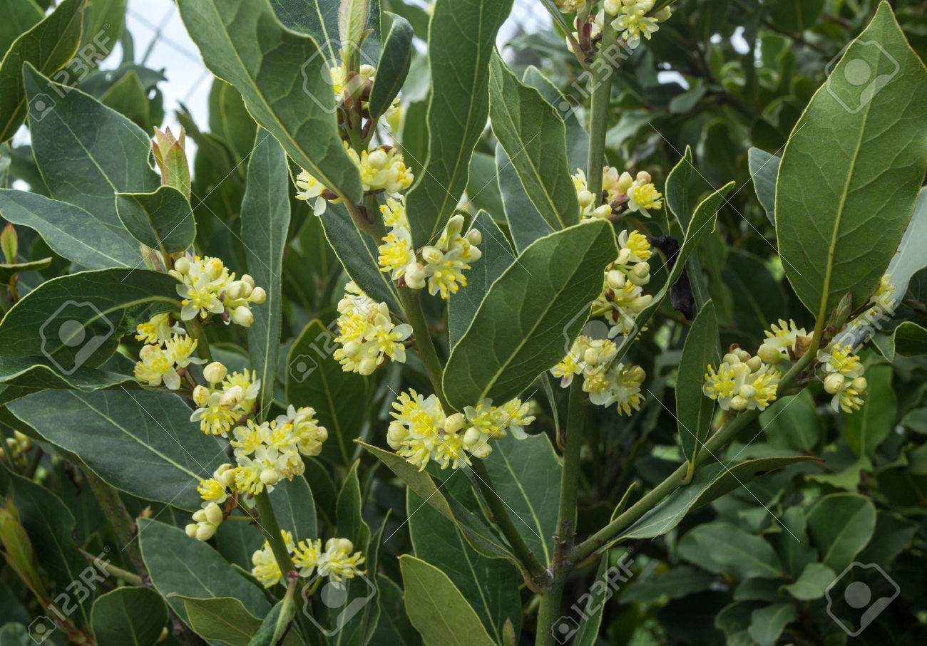 blossoms on the branches of laurel tree - 46083835