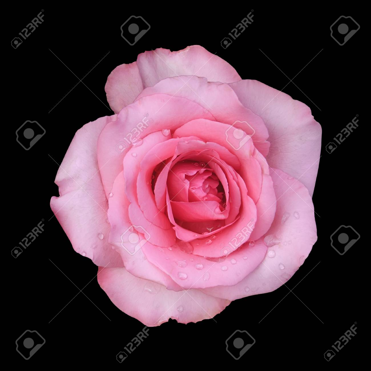 Fresh beautiful pink rose petal and aroma with drop of water stock fresh beautiful pink rose petal and aroma with drop of water for love flower or valentine izmirmasajfo