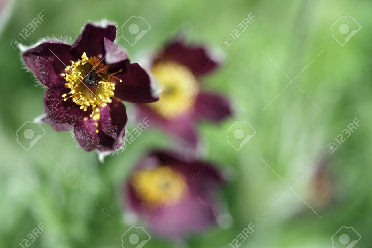Pasqueflower Stock Photo - 14007719