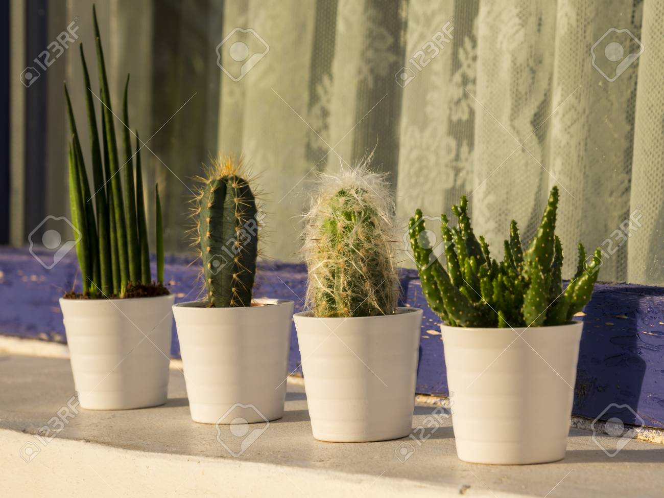 Cacti And Succulents In The Small White Flower Pots Outdoor Stock