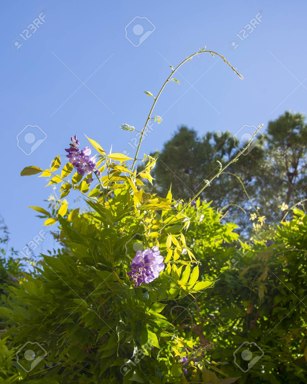 Purple Flowers On The Branch Of Acacia Tree Stock Photo Picture And