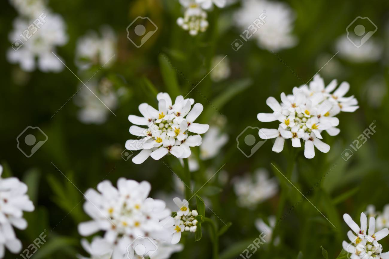 White Flowers In Spring Stock Photo Picture And Royalty Free Image