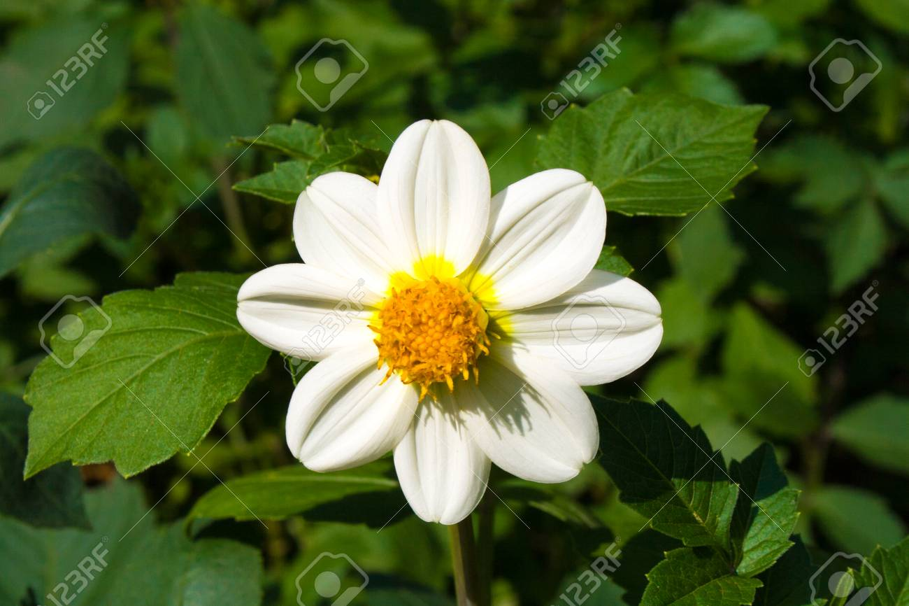 Beautiful blossoming white dahlia flower on a background of green beautiful blossoming white dahlia flower on a background of green leaves on a sunny autumn day izmirmasajfo