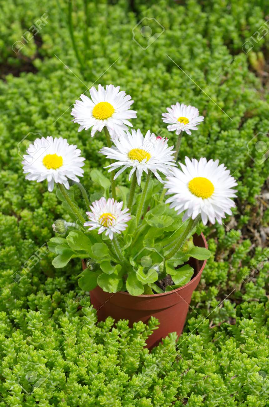 Perennial Daisy Lat Bellis Perennis In Pots On The Background