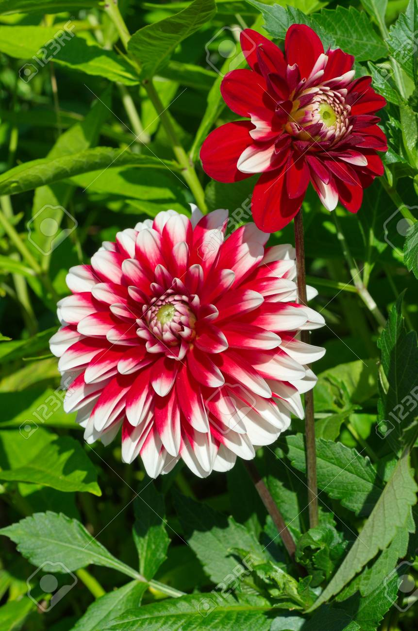 Red White Dahlia Flowers Bloom In The Garden Stock Photo Picture