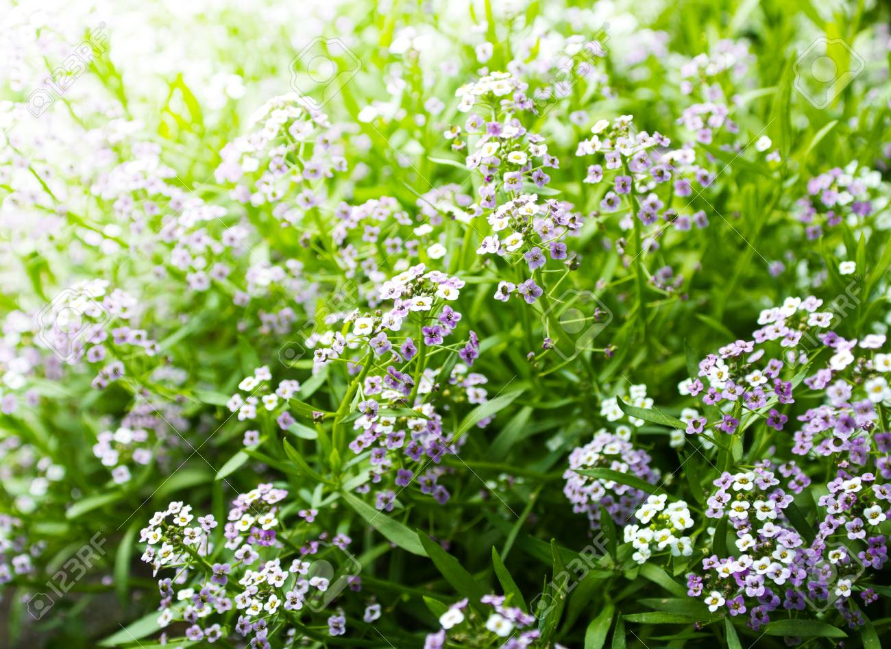 Small Flowers Bloom In Late Spring And Early Summer Stock Photo