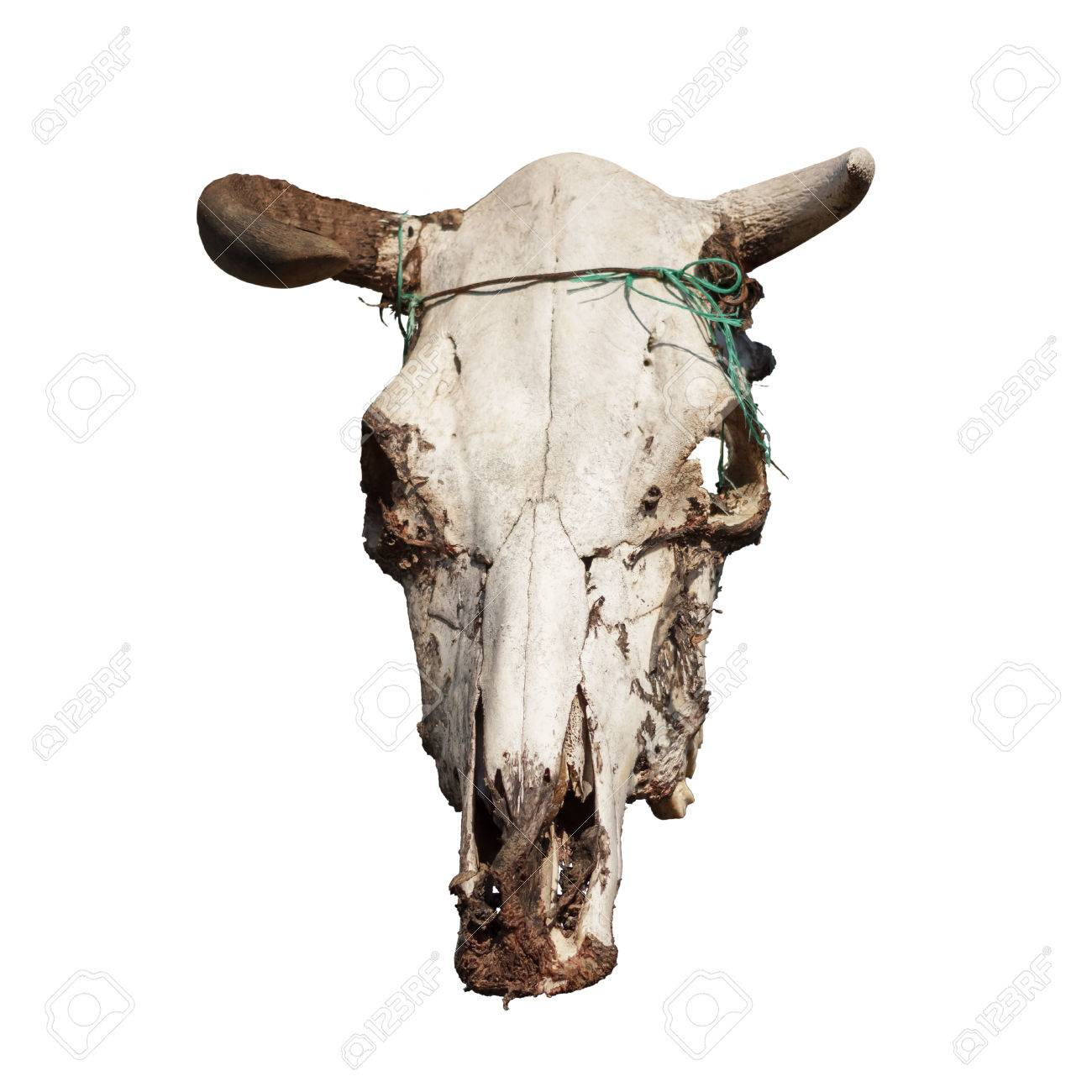 Cow Skull With Horns On White Stock Photo, Picture And Royalty Free ...