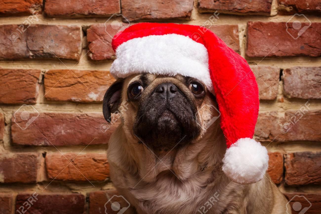 pug in a santa hat - 50192966
