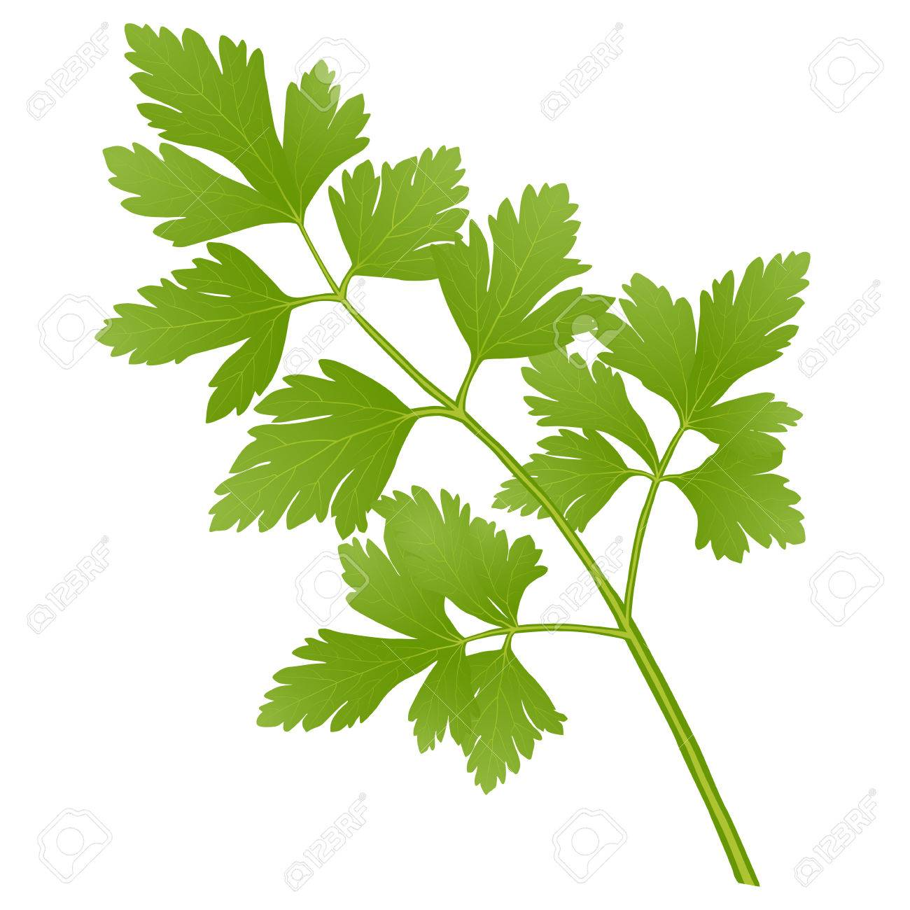 parsley - 68886701