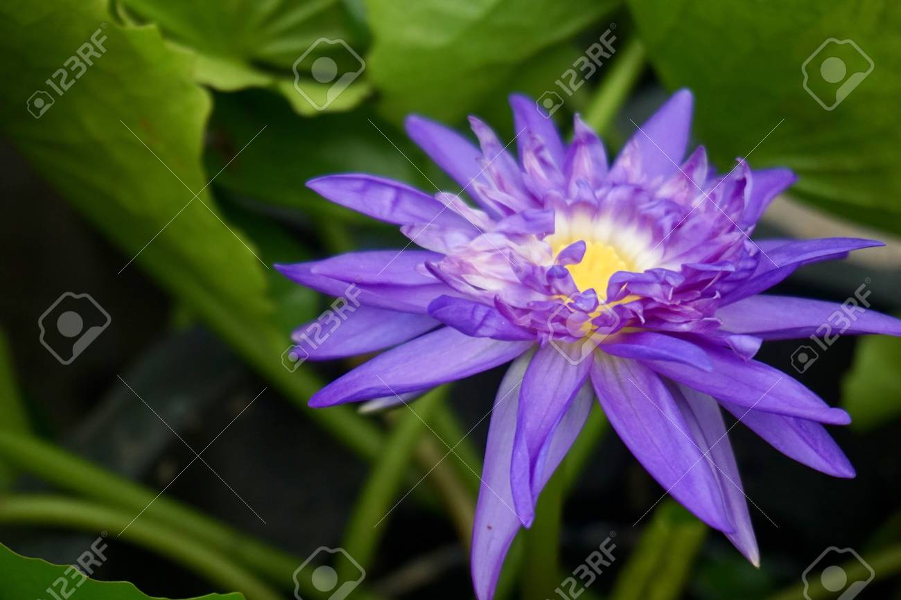 Close Up Of Purple Lotus Flower Stock Photo Picture And Royalty