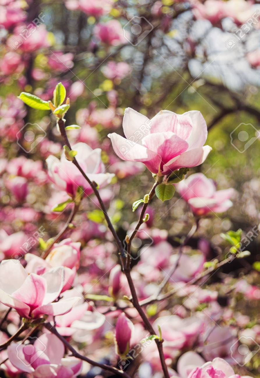 Fabulous Garden Of Blooming Magnolia Trees In Springtime Stock