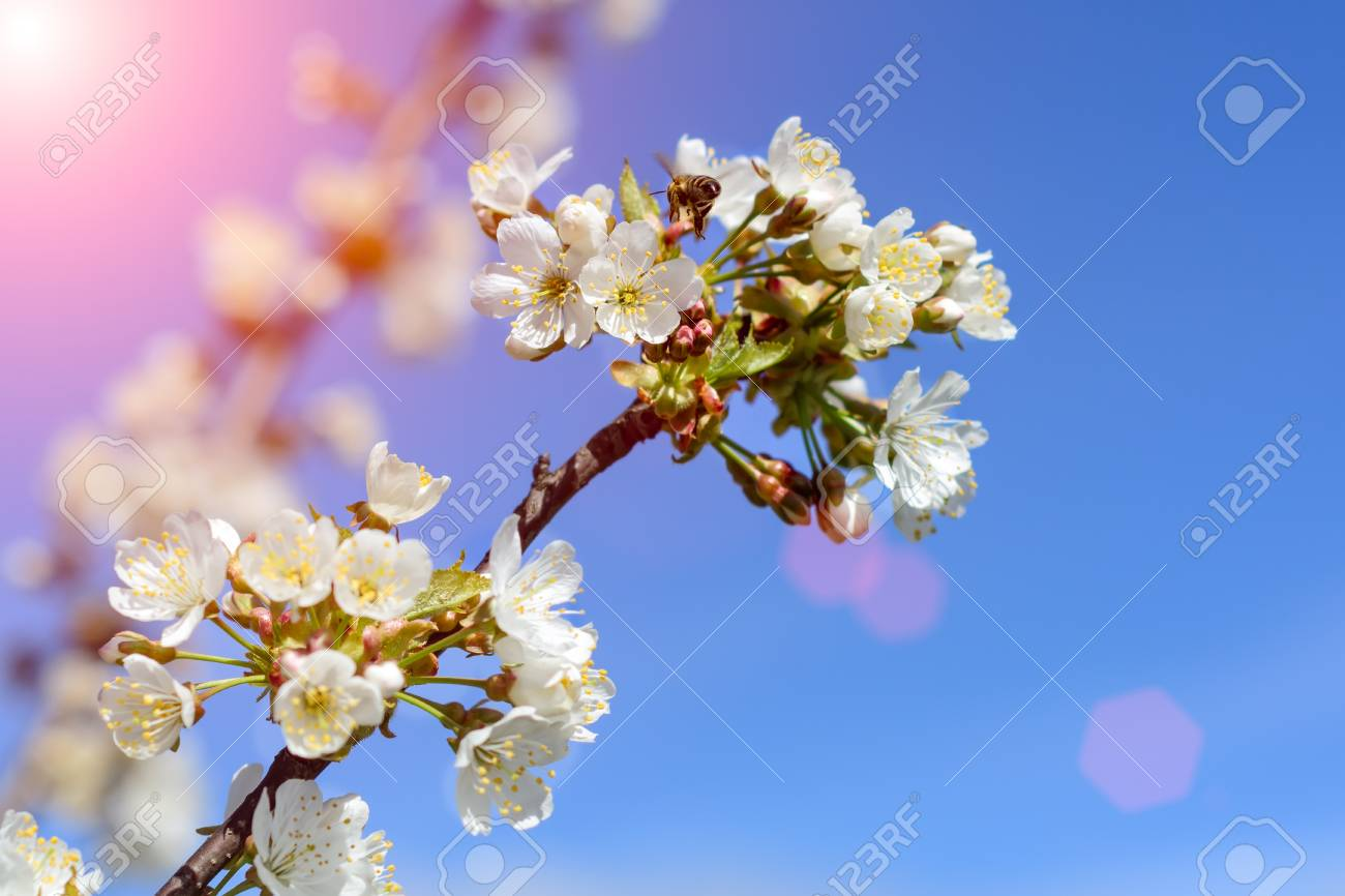 Bees Pollinate The Flowers Of Spring Trees Apiculture Insects
