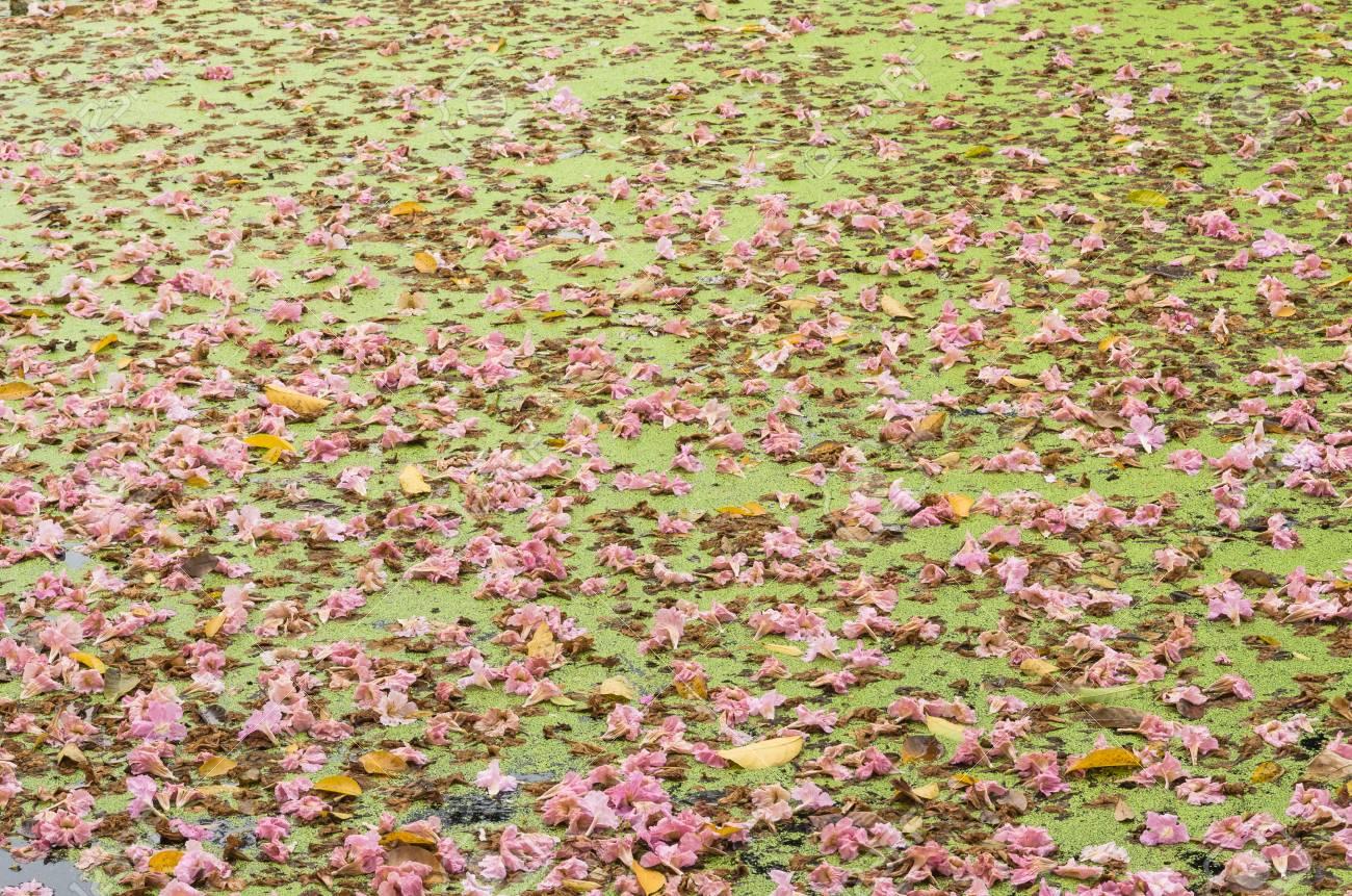 湖に浮かぶ Tabebuia バラ色のテ...