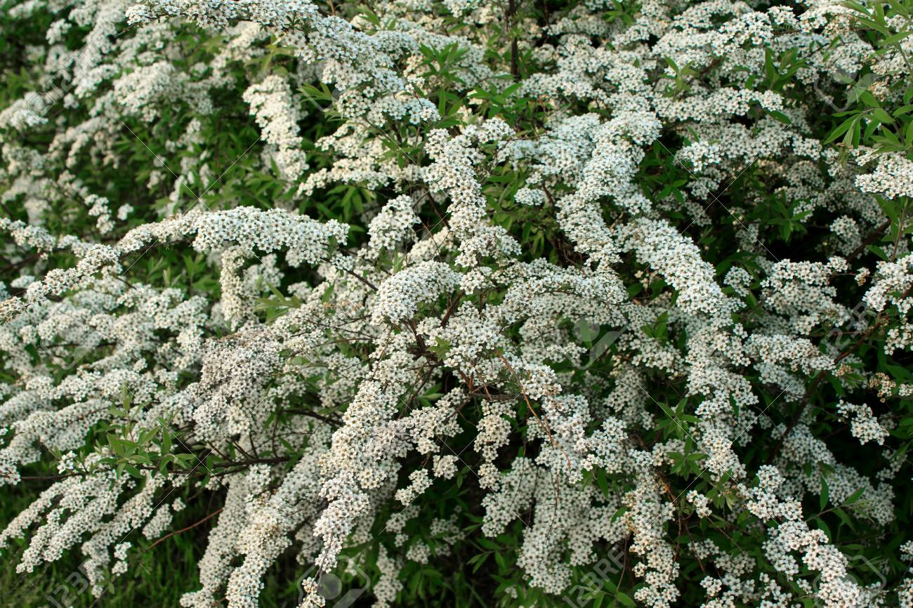 Shrub with small white flowers blooming in spring stock photo shrub with small white flowers blooming in spring stock photo 57106781 mightylinksfo