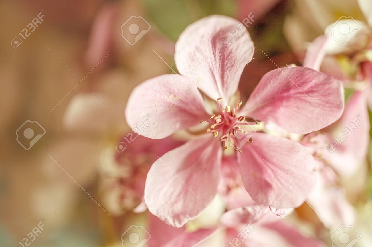 Sakura Flower The Flowering Tree Beautiful Flowers Of Delicate