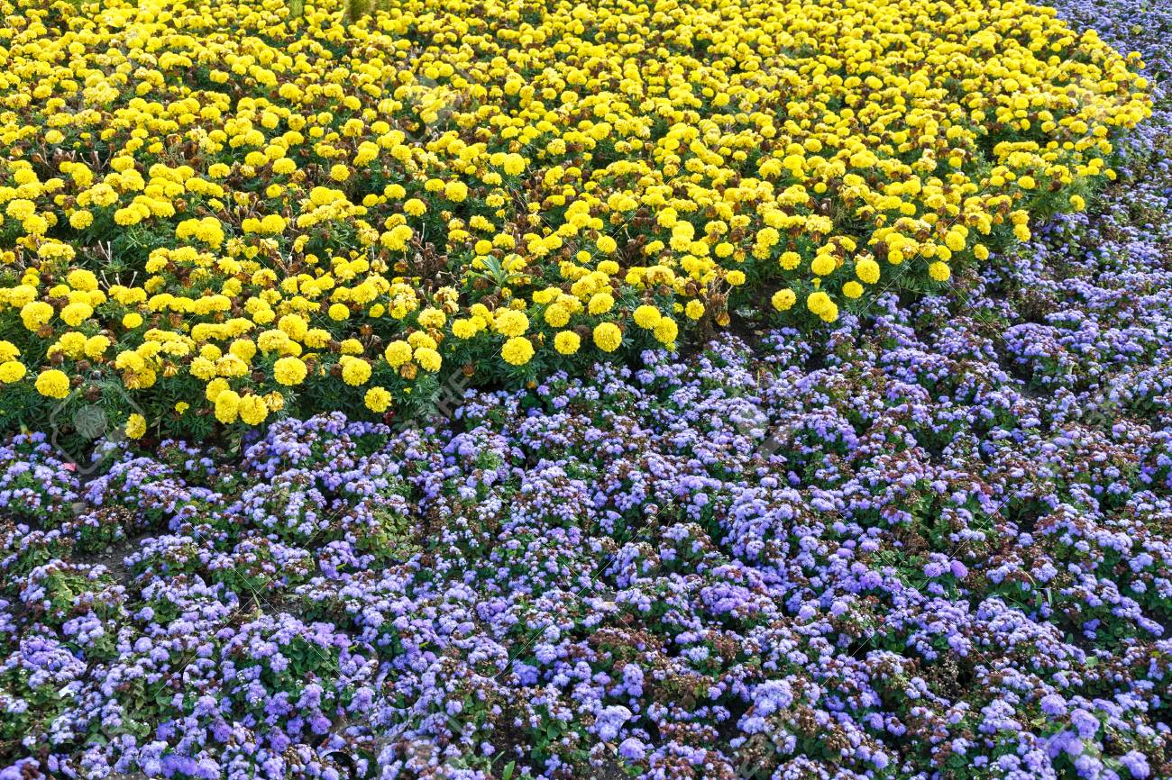 Flowerbed The Space Is Planted With Yellow And Blue Flowers