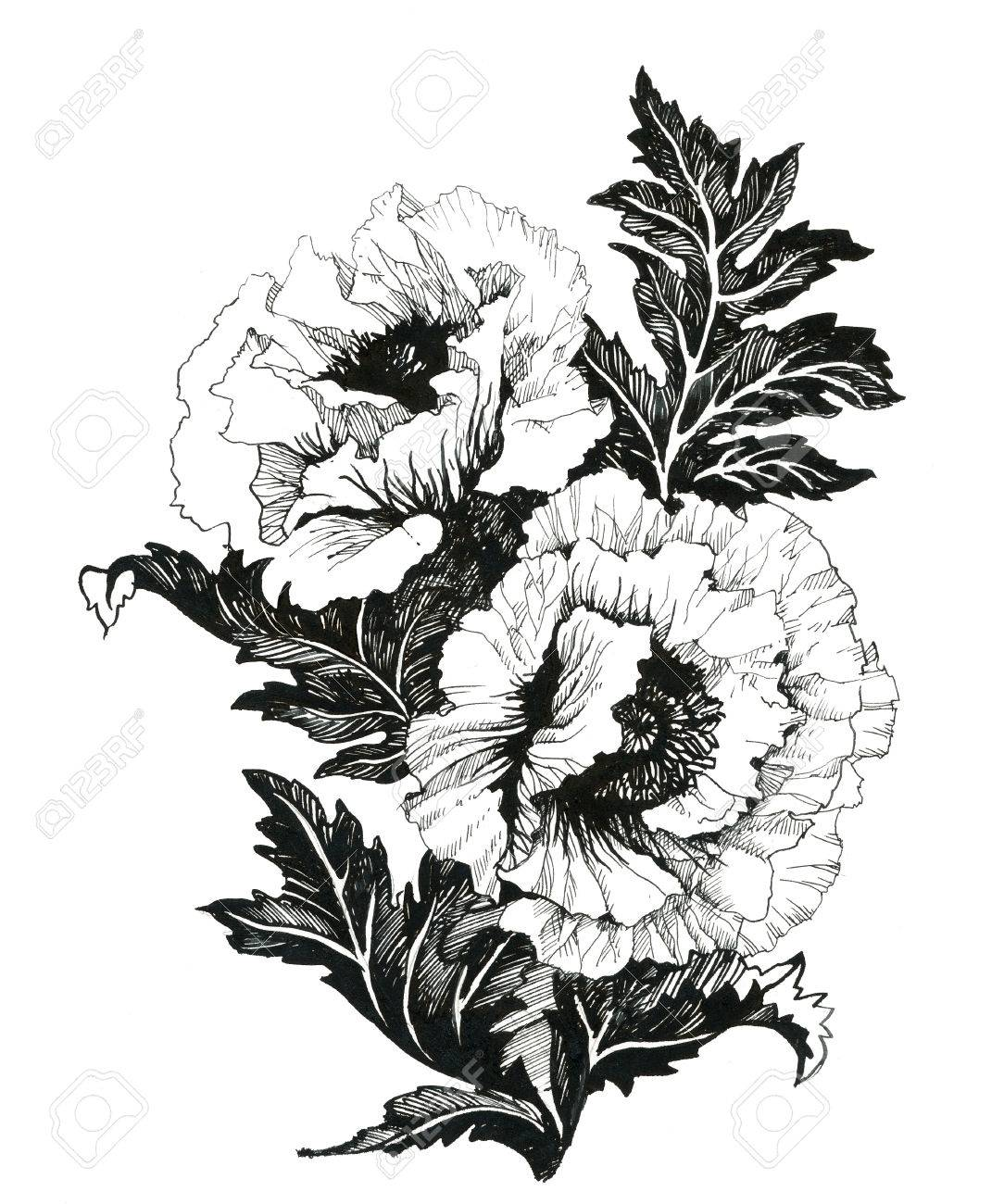 Poppy Flowers Illustration In Black And White Stock Photo Picture