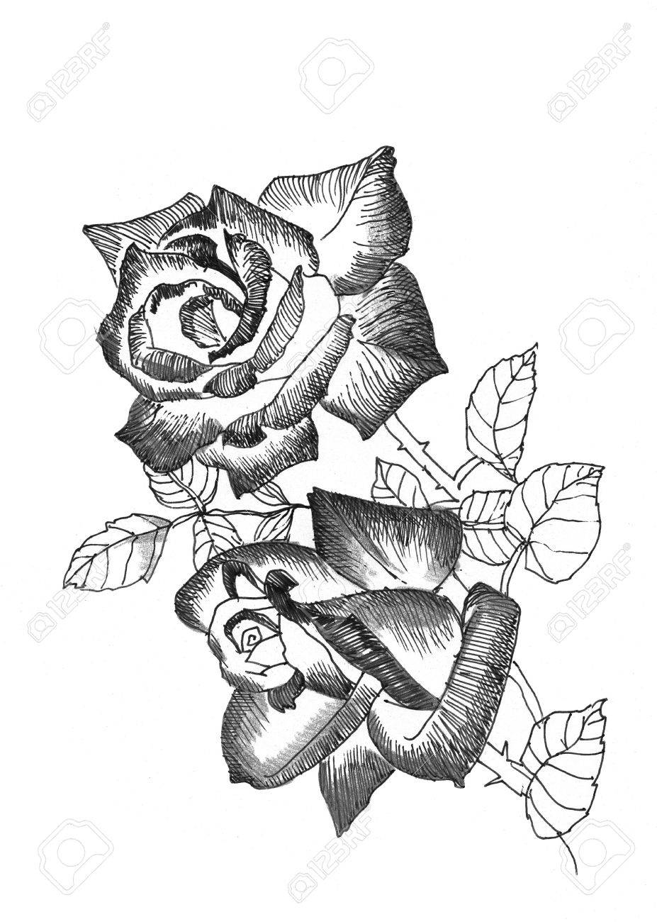 Hand Drawn Rose Flowers On White Background Royalty Free Cliparts
