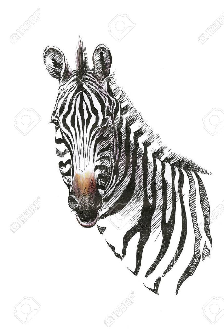 Watercolor zebra isolated on white background - 37784502