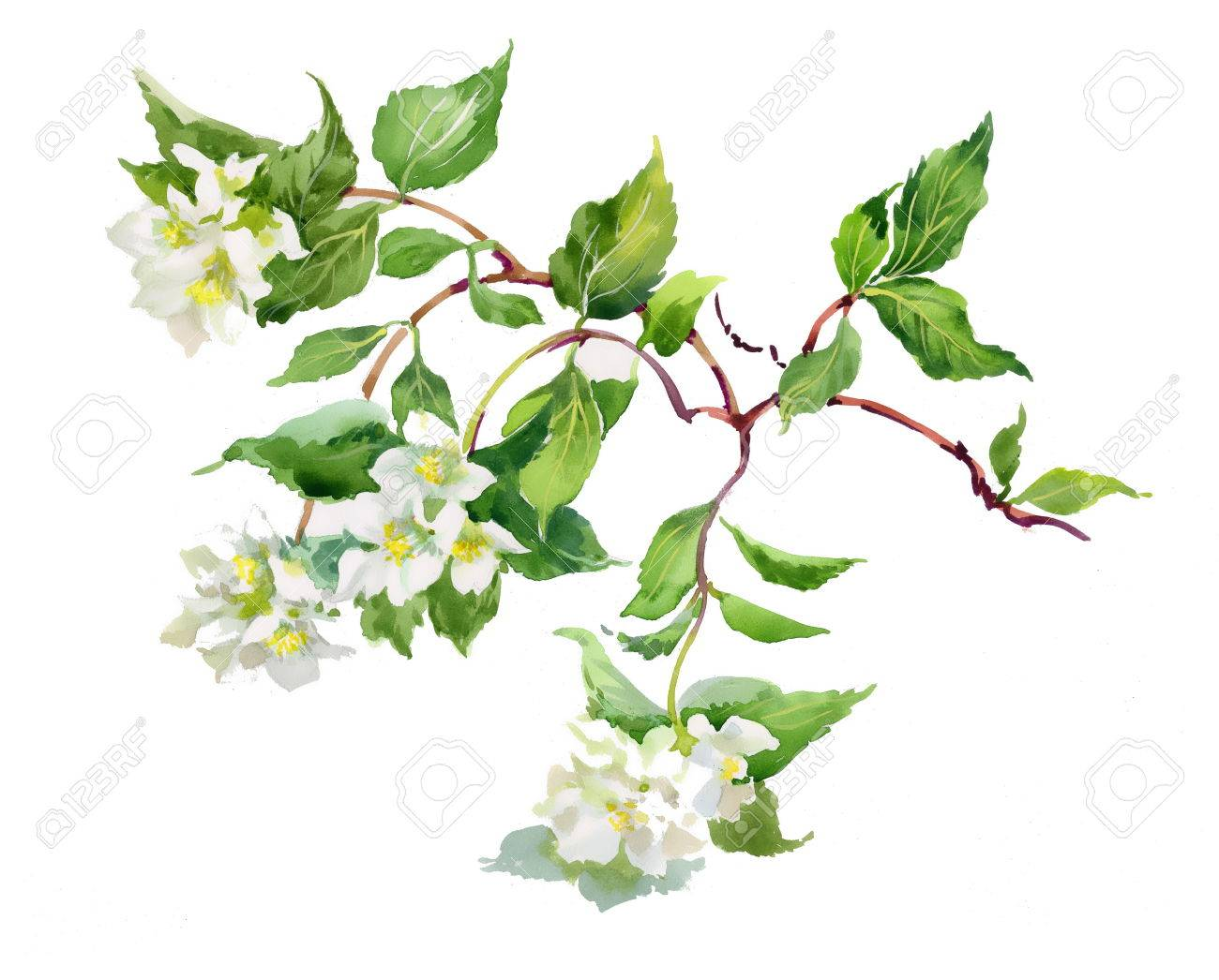 Spring branch - 38172236