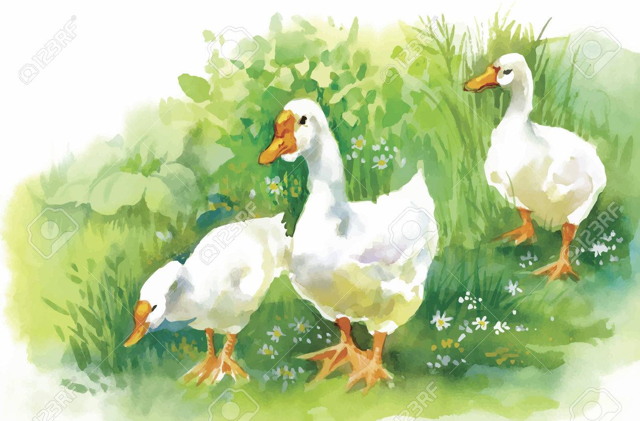 Geese flock swimming on pond watercolor vector illustration. - 45114211
