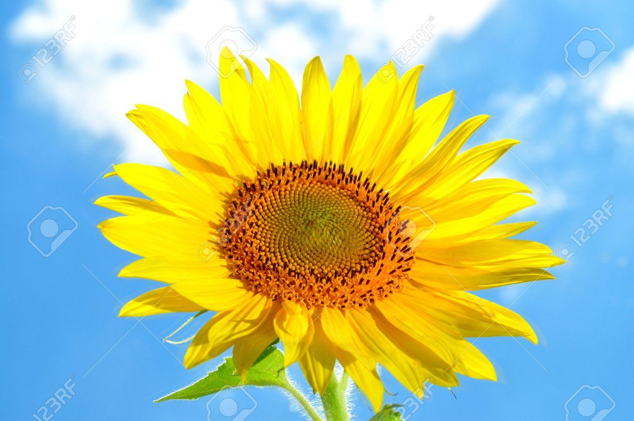 graines de grandes et lumineuses, fleur, tournesol, contre le ciel