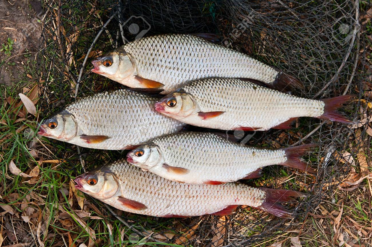 Freshwater fish bream - Roach Fish And Bream Freshwater Fish Just Taken From The Water Several Roach Fish On