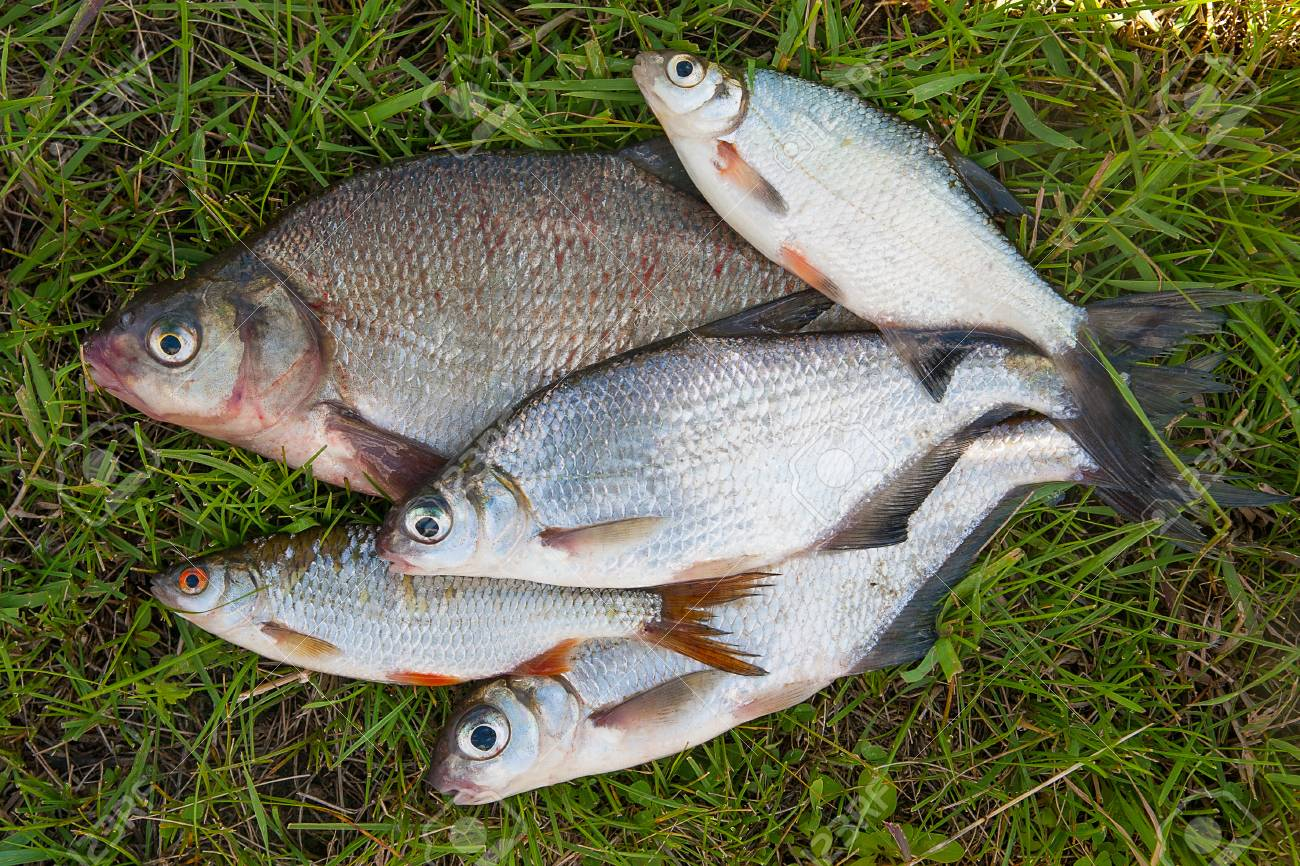 Bream Fish | Freshwater Fish Just Taken From The Water Catching Freshwater