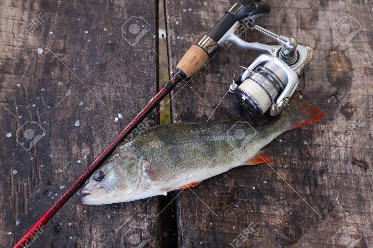 Freshwater Perch And Fishing Rod With Reel Lying On Vintage Wooden