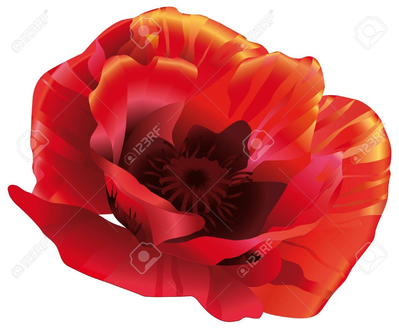 flower head of red poppies in a realistic style royalty free