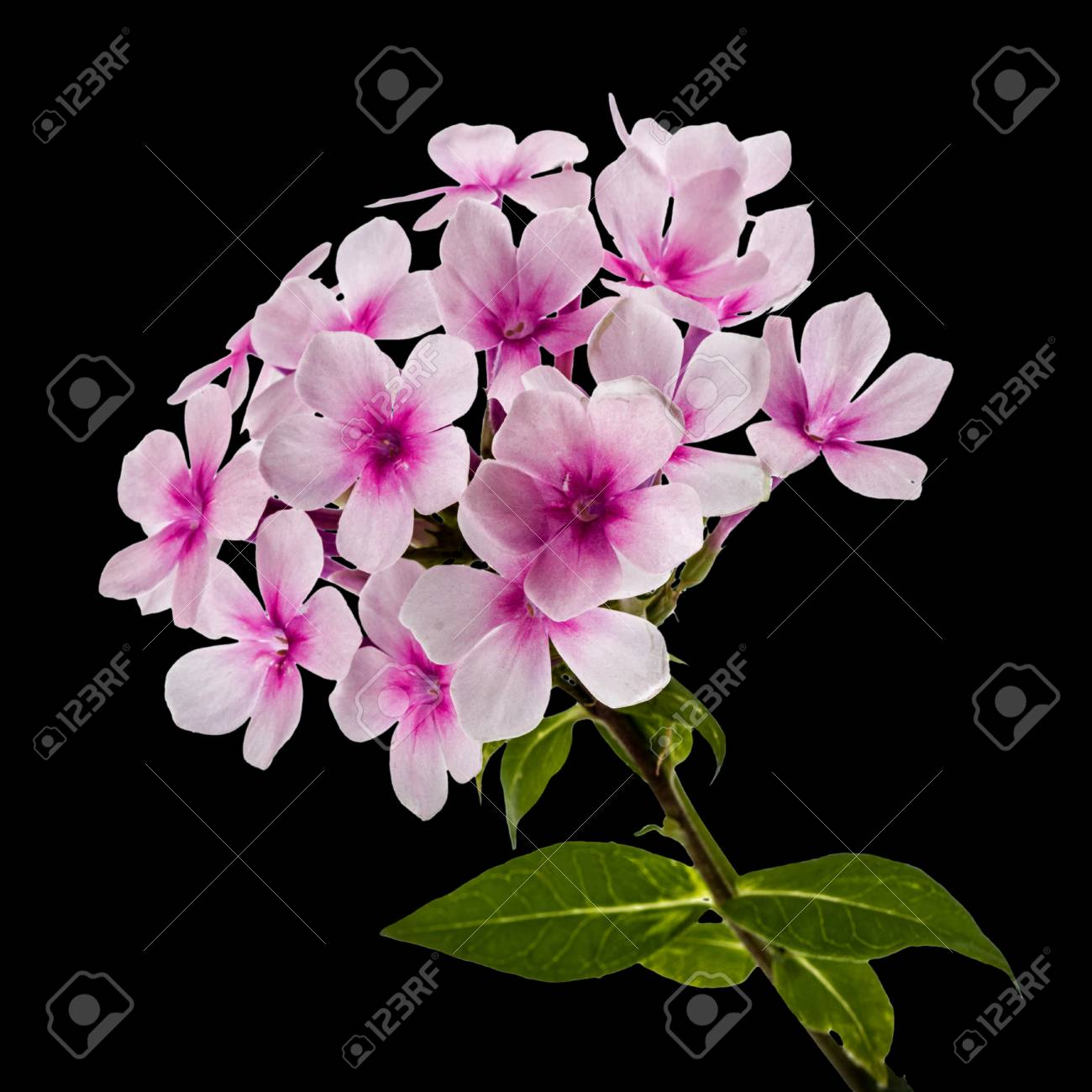 Pink Flower Phlox Isolated On Black Background Stock Photo Picture