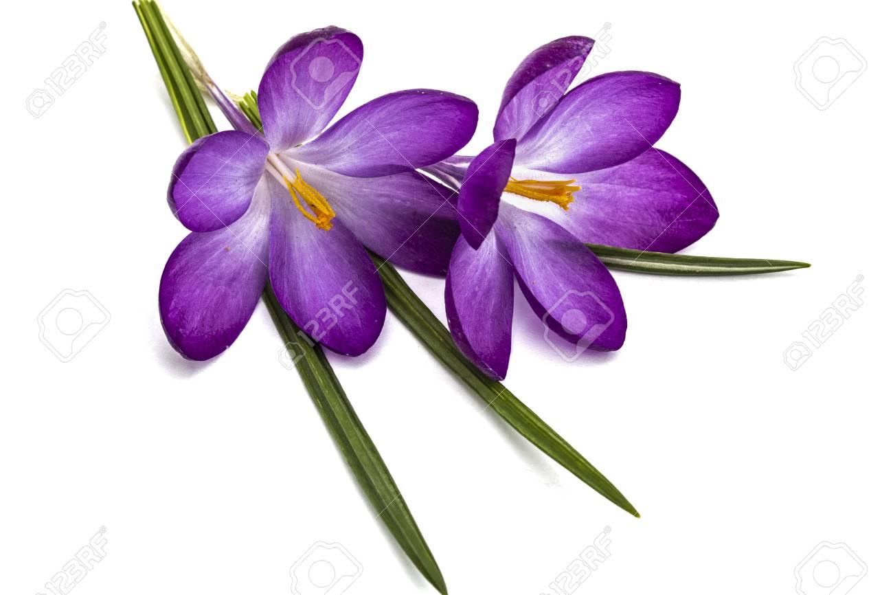 Purple flowers of crocus isolated on white background stock photo purple flowers of crocus isolated on white background stock photo 54353651 mightylinksfo Choice Image