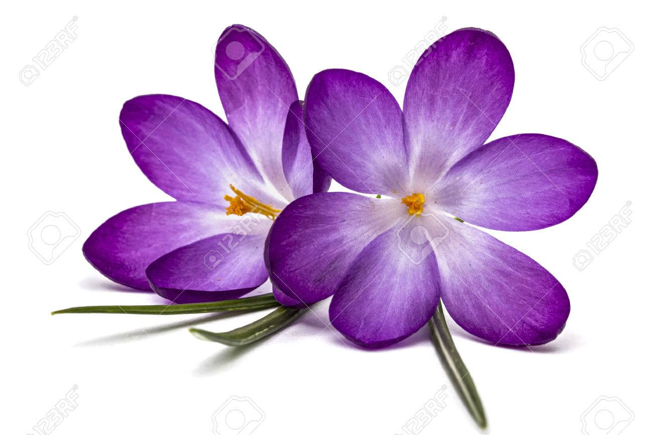 Purple flowers of crocus isolated on white background stock photo purple flowers of crocus isolated on white background stock photo 54353657 mightylinksfo