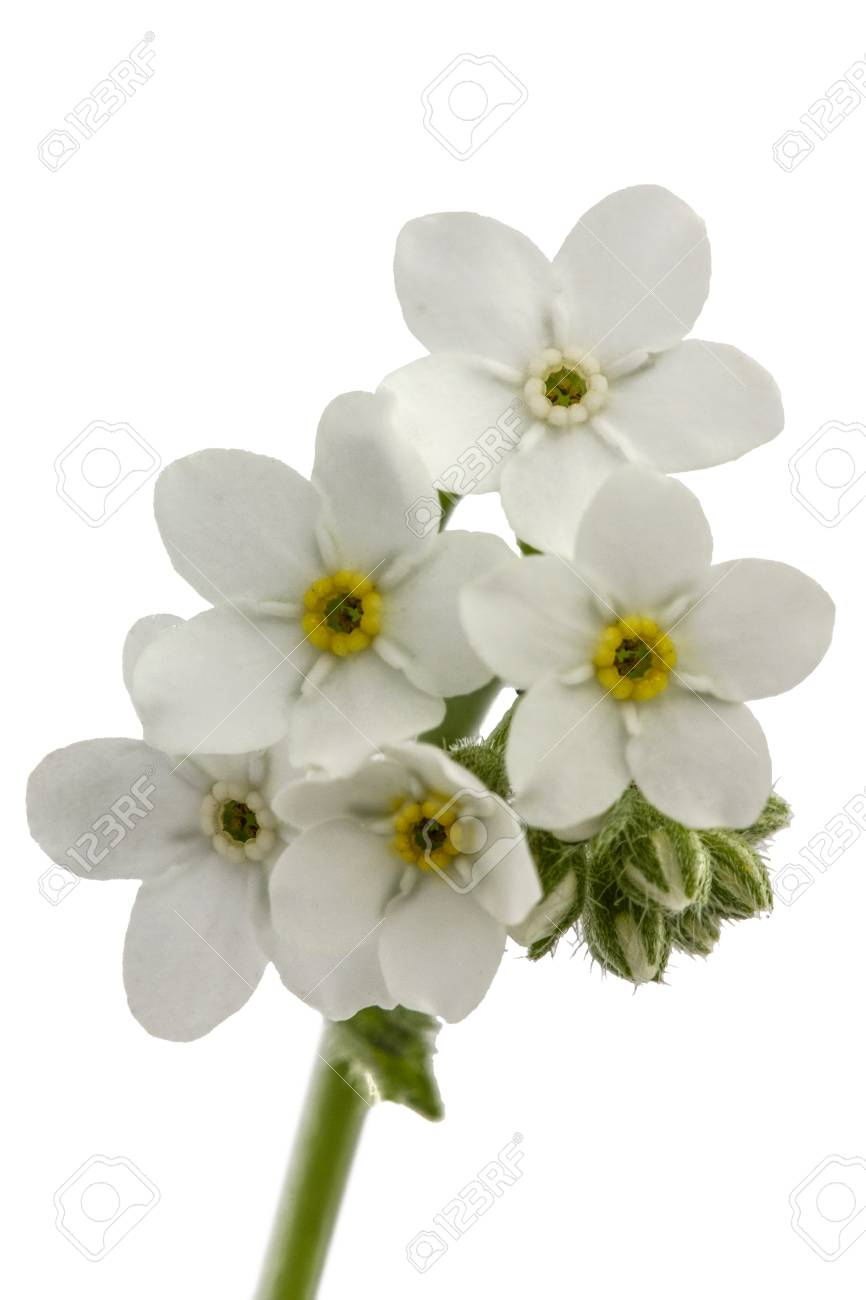 White Flowers Of Forget Me Not Myosotis Arvensis Isolated Stock