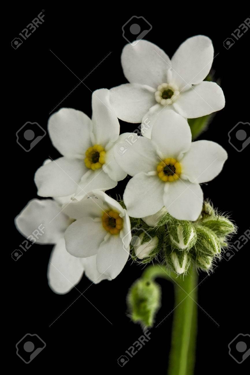 Fleurs Blanches De Forget Me Not Myosotis Arvensis Isol Sur Fond