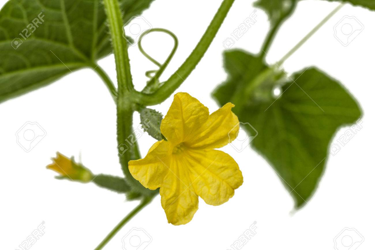 Yellow Flower Of Cucumber Isolated On White Background Stock Photo