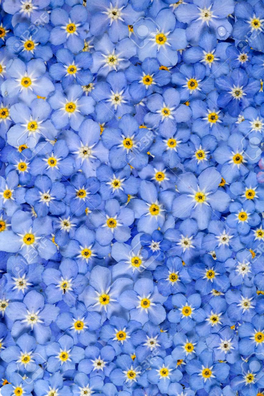 Background From Light Blue Flowers Of Forget Me Not Lat Myosotis