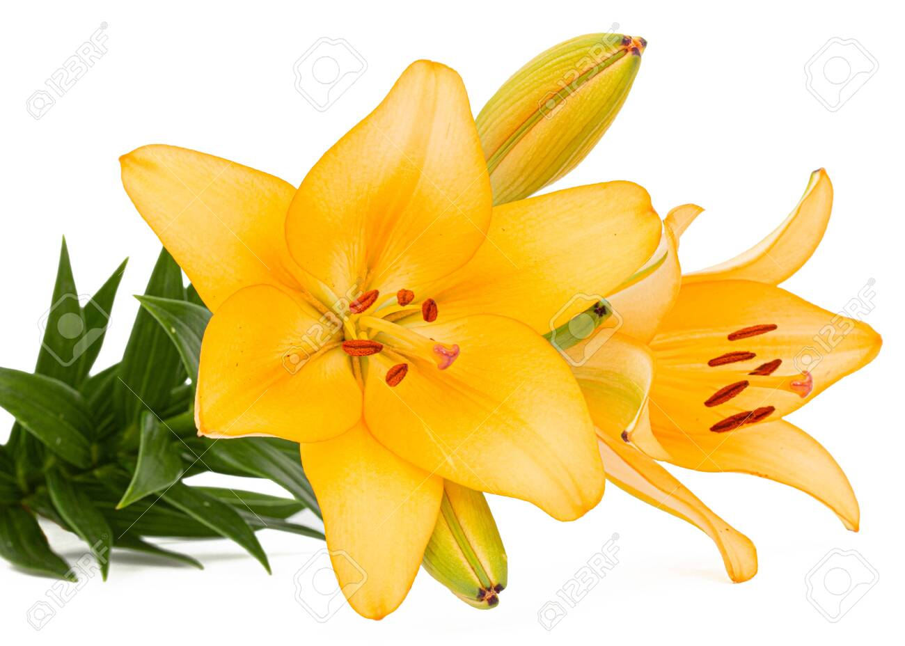 Flower of yellow lily, isolated on white background - 125115429