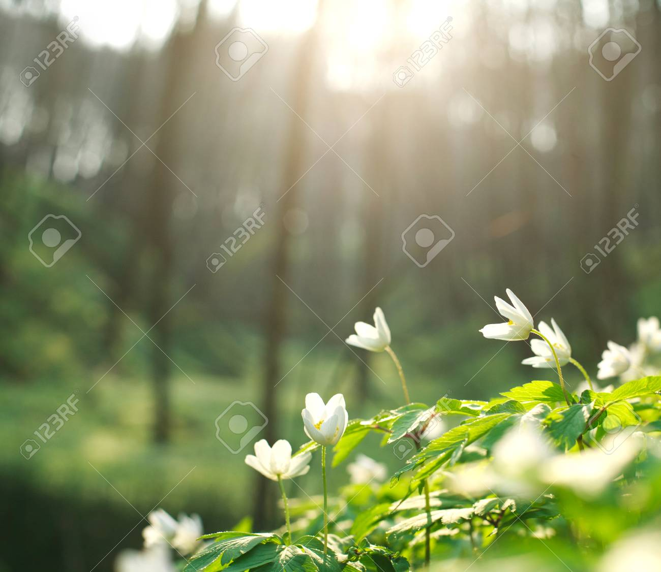 Spring White Flowers Blooming In The Forest On A Background Of