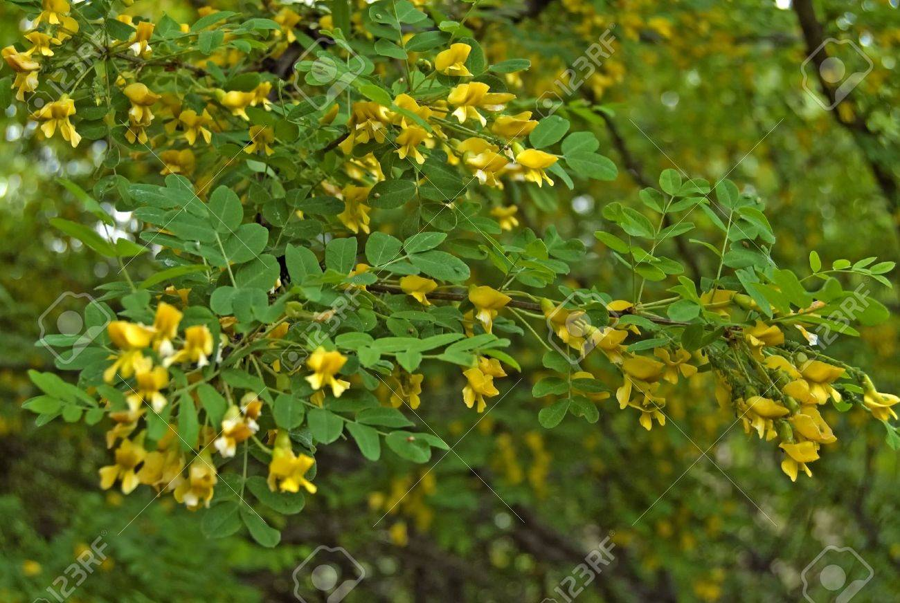 Flowering acacia with yellow flowers and green leaves struck flowering acacia with yellow flowers and green leaves struck aphids stock photo 7176929 mightylinksfo