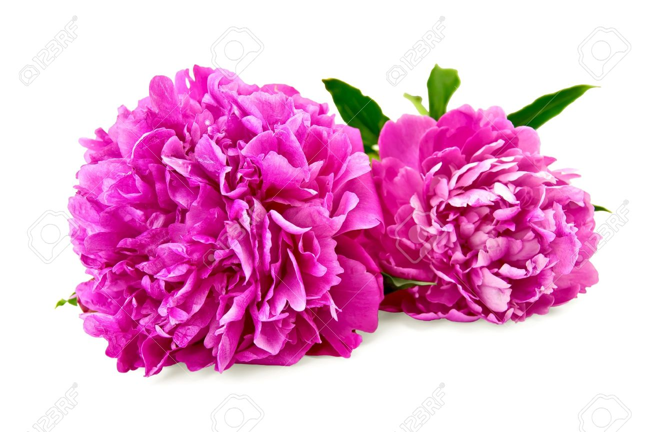 The Pink Peonies Two Bright Pink Peonies With Green Leaf Isolated On White