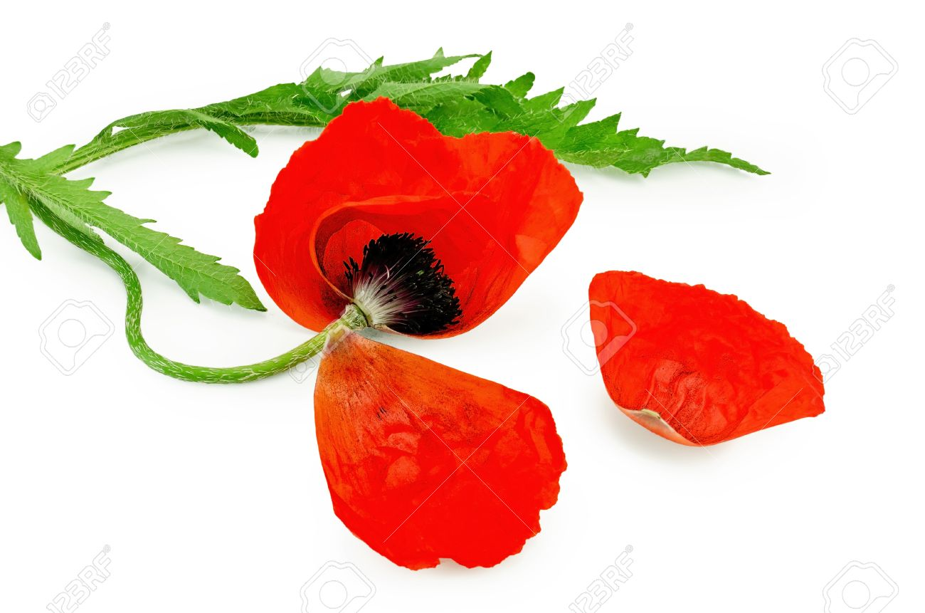 Poppy Red With Torn Petals And Green Leaves Isolated On White