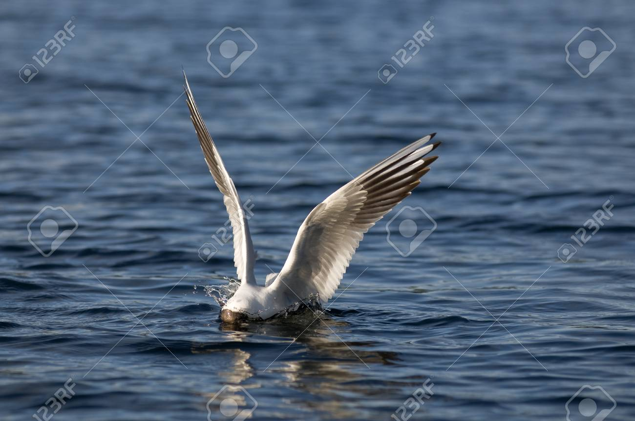 Black-headed gulls hunt Stock Photo - 15697784