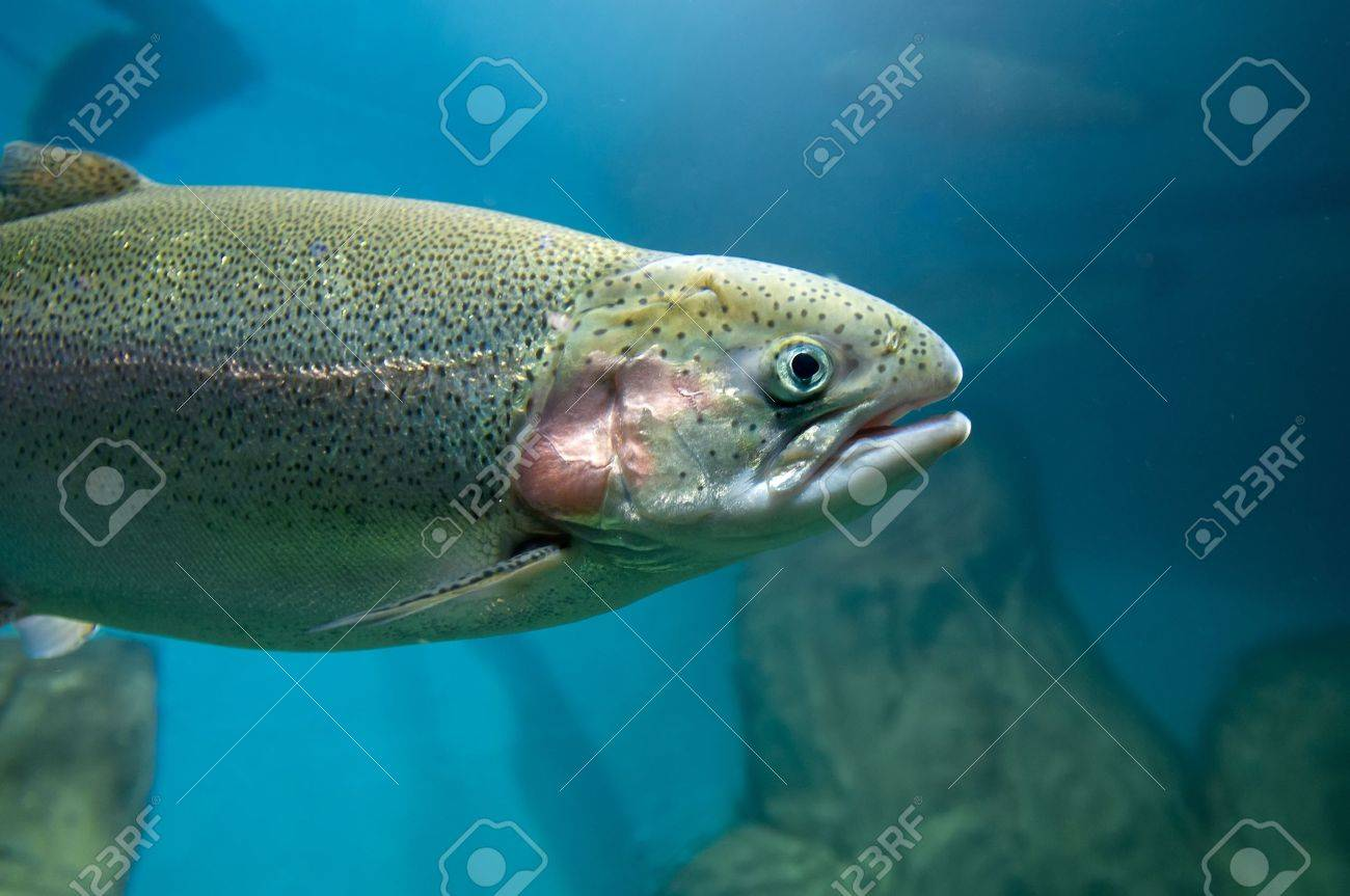 Rainbow trout or Salmon trout  Oncorhynchus mykiss  close-up underwater Stock Photo - 19118287