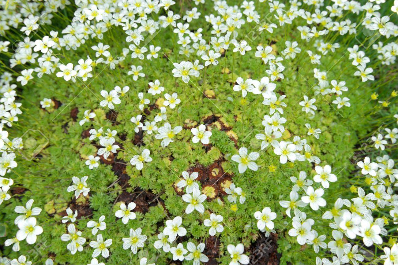 Saxifrage Arends White Background Of Little White Flowers On