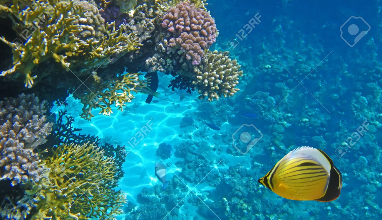 Underwater life of a hard-coral reef, Red Sea, Egypt Stock Photo - 9344834