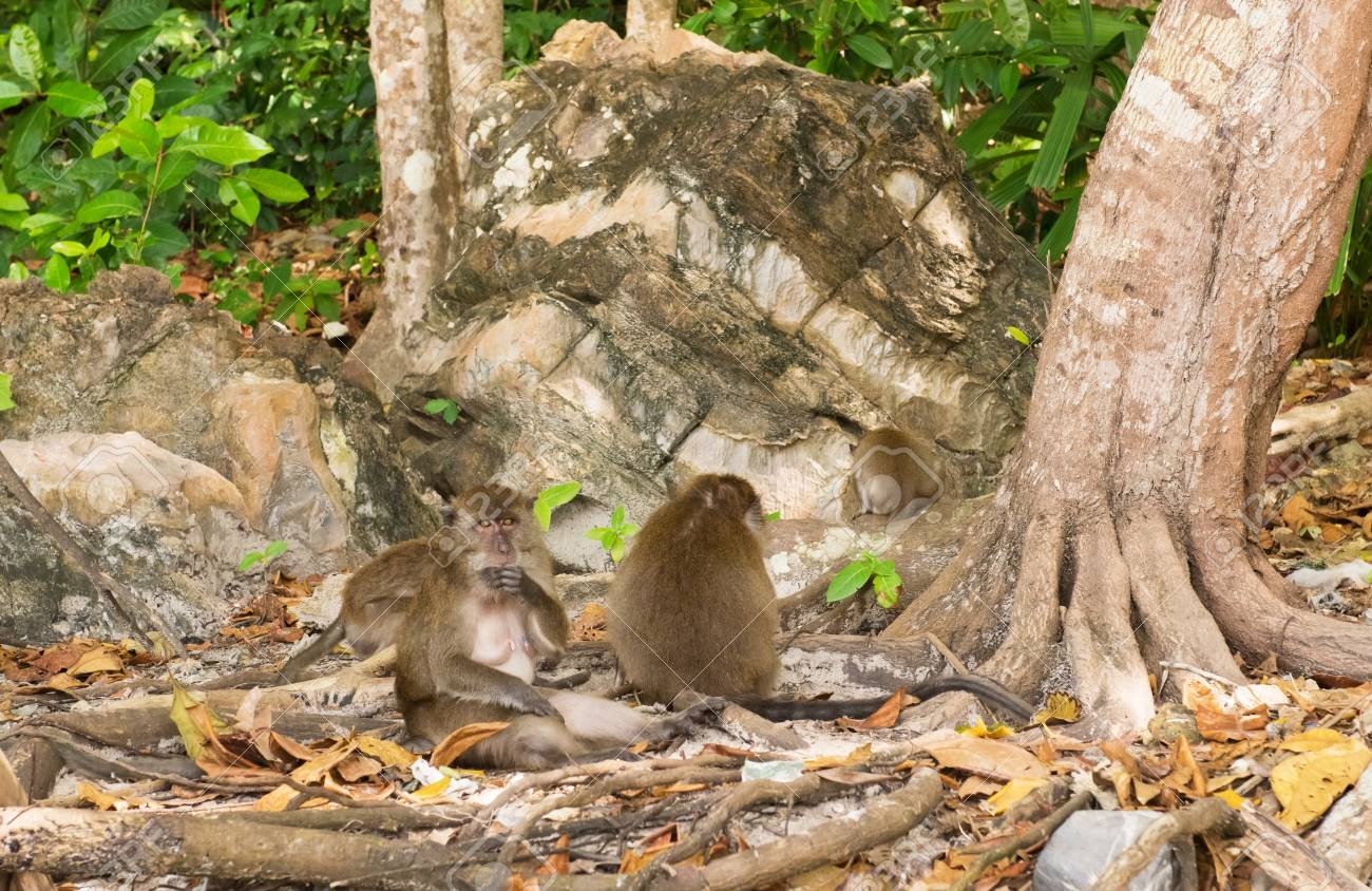 Macaque Monkey Family On Monkey Beach Phi Phi Island Thailand