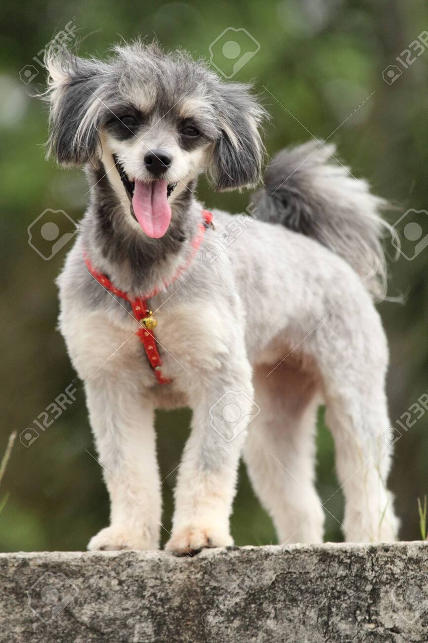 She Is A Dog Breed Shih Tzu Poodle Stock Photo Picture And Royalty Free Image Image 130097907