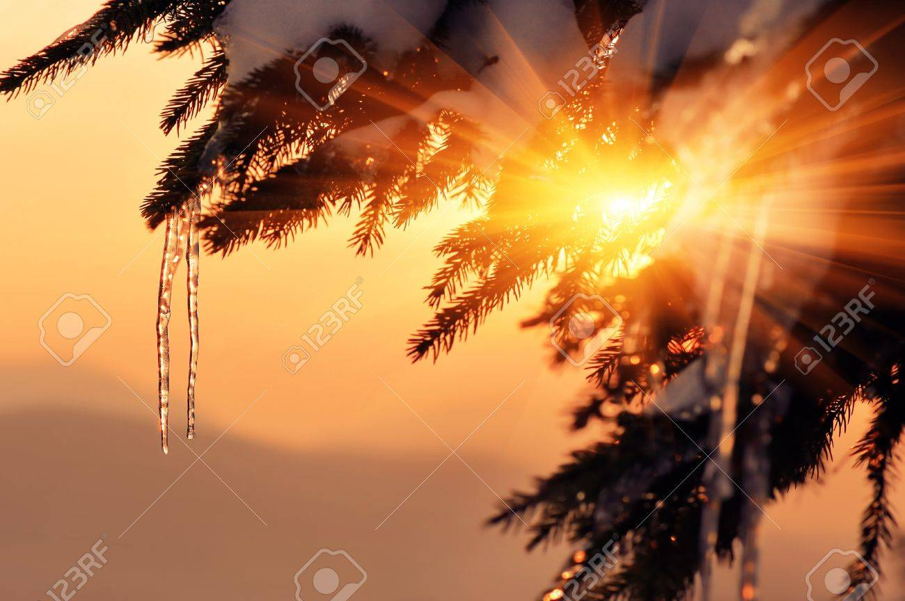 Fir branch with icicles at sunset. Winter background for design - 12654877