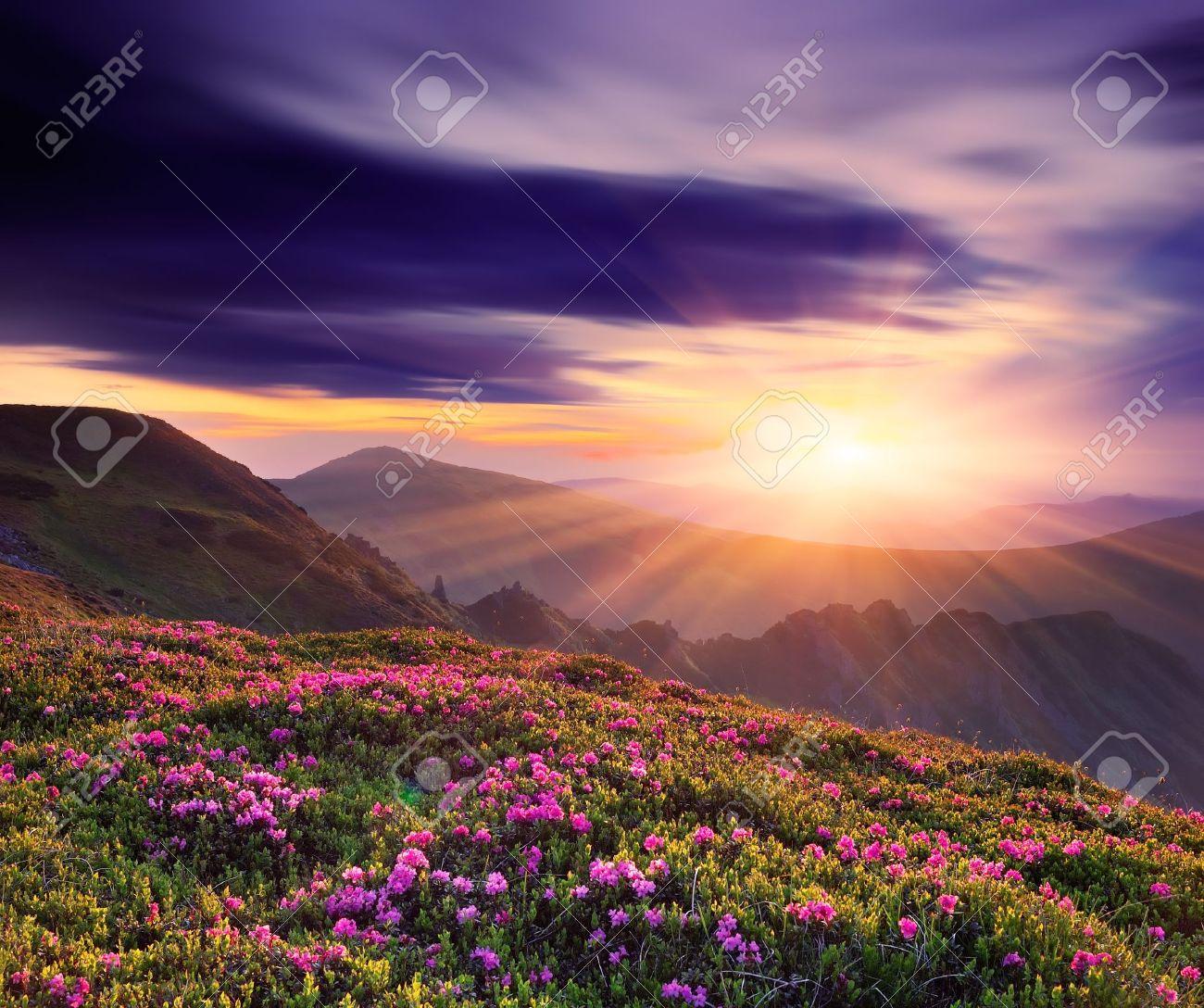 Paysage de printemps avec un beau coucher de soleil dans les montagnes et de fleurs de rhododendron Banque d'images - 18670848